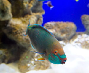 A Parrotfish, which is full of bright colors, mostly teal, orange, and pink