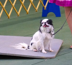 Hestia sitting on the wobble board, tongue hanging out