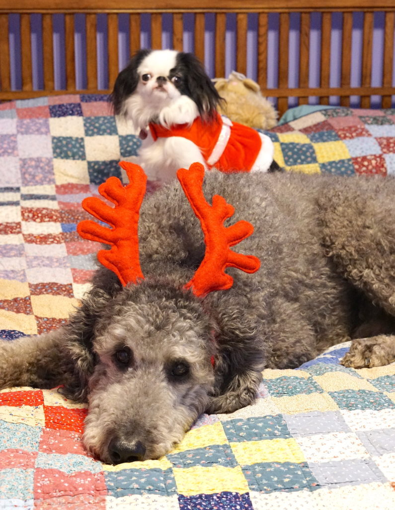 Silver poodle Ollie wearing red antlers and lying on the bed. In the background Hestia (a black and white dog) has a red and white holiday dress on.