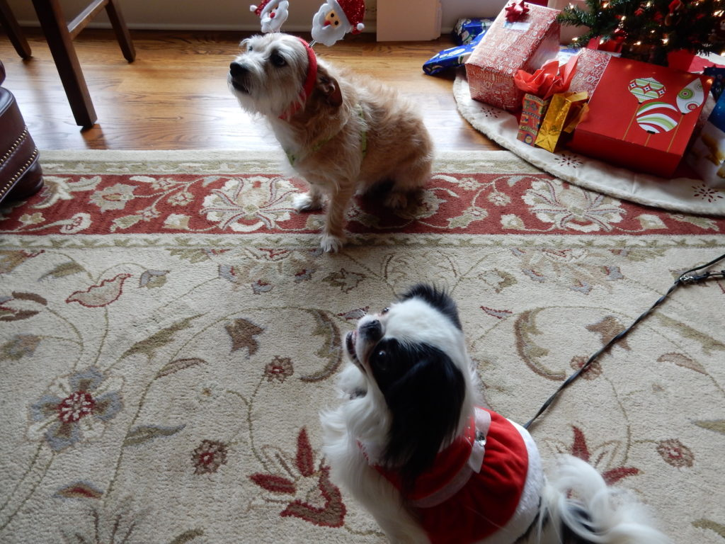 Hestia is a small black and white Japanese Chin wearing a red and white holiday dress.  Rocco is a terrier mix wearing a headband with two santas on it!