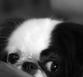 Black and white dog peering over the edge of a table looking worried.