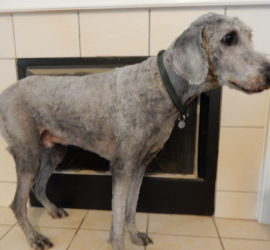 Silver standard poodle shaved down