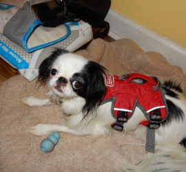 "Hestia, a small black and white dog, wearing a red Ruffwear webmaster harness. This harness has three ""legs"" that stick out of material to which you can attach buckled etc."