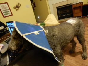 Side view of Ollie, a silver standard poodle.  He has a blue cone of shame on, and is peeking around it.  You can also see the bandage on his back.