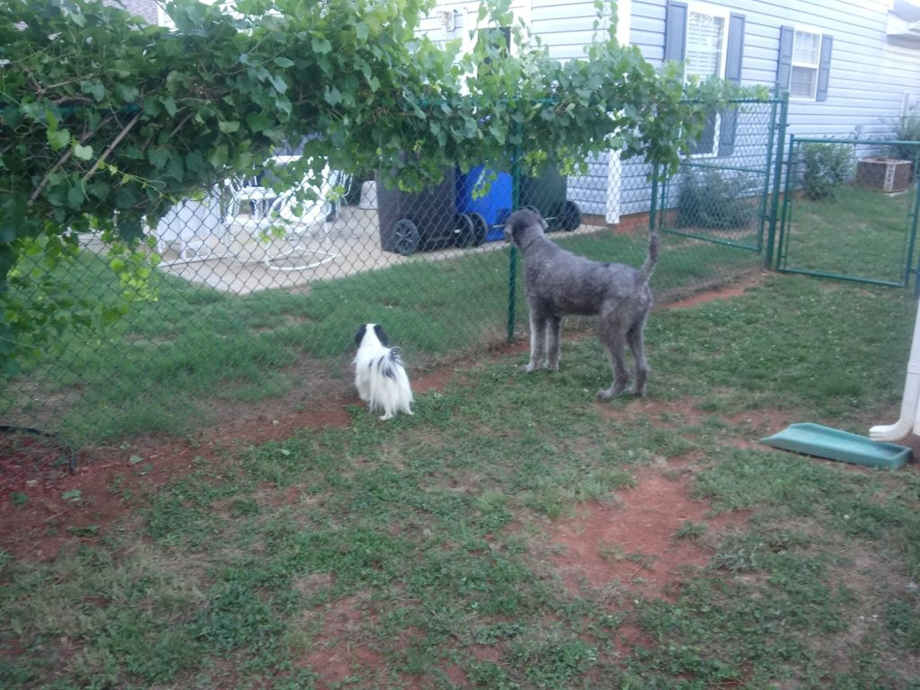 Ollie and Hestia looking into the neighbor's yard.  A muscadine vine grows along the top of the fence.