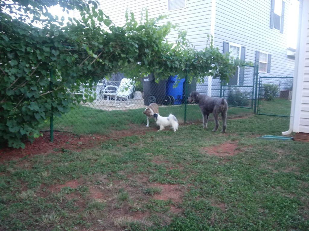 Hestia greets Charlie through the fence as Ollie looks on.
