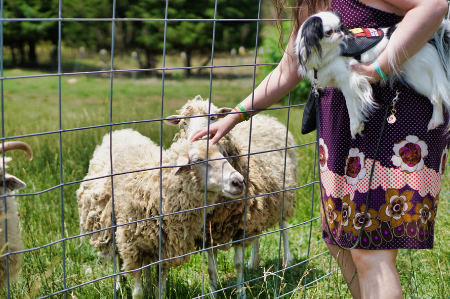 The sheep are the same breed as the sheep we saw at Historic Brattonsville.  They can deal with the heat and are very hardy and don't need dewormers all the time, so they were popular in the past and are being revived today.