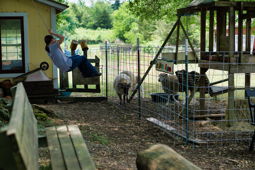 Some of the sheep wandering around in a pen while a little girl swings from a rope swing on a tree overhanging the sheep enclosure.