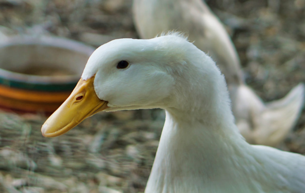 A closeup of one of the ducks, who is so recently out of the water that you can see water droplets still on its beak.