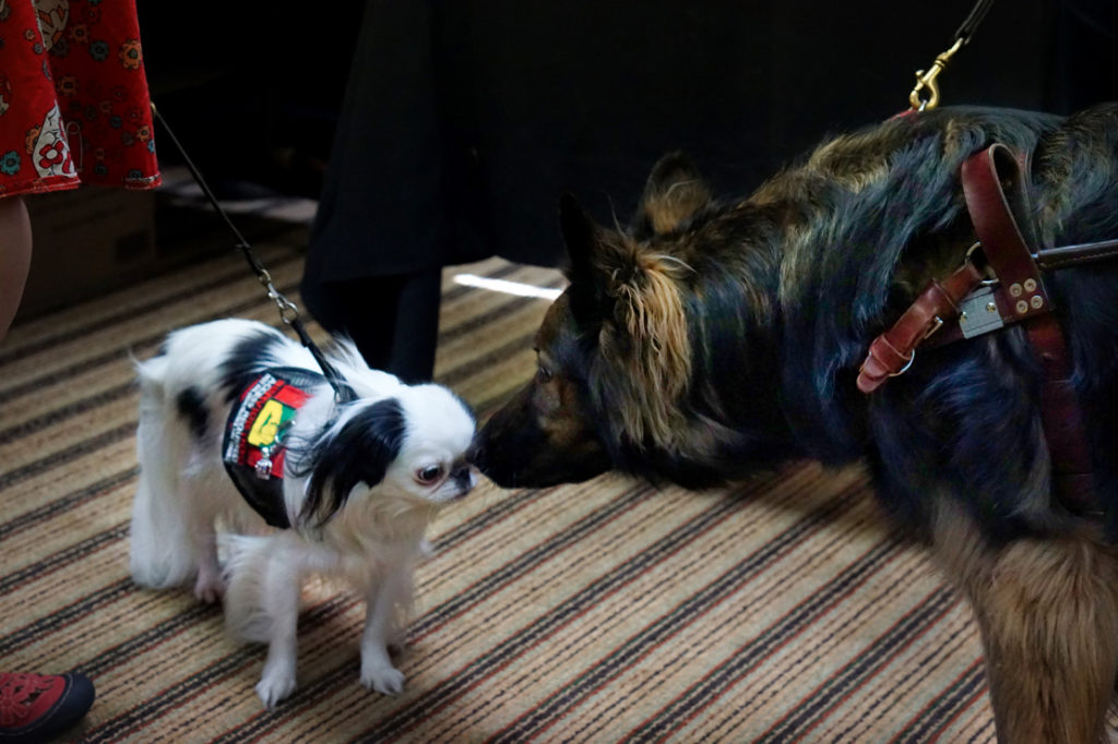 Hestia and the long haired German Shepherd Dog sniff noses.  Hestia is wearing a red and black vest.