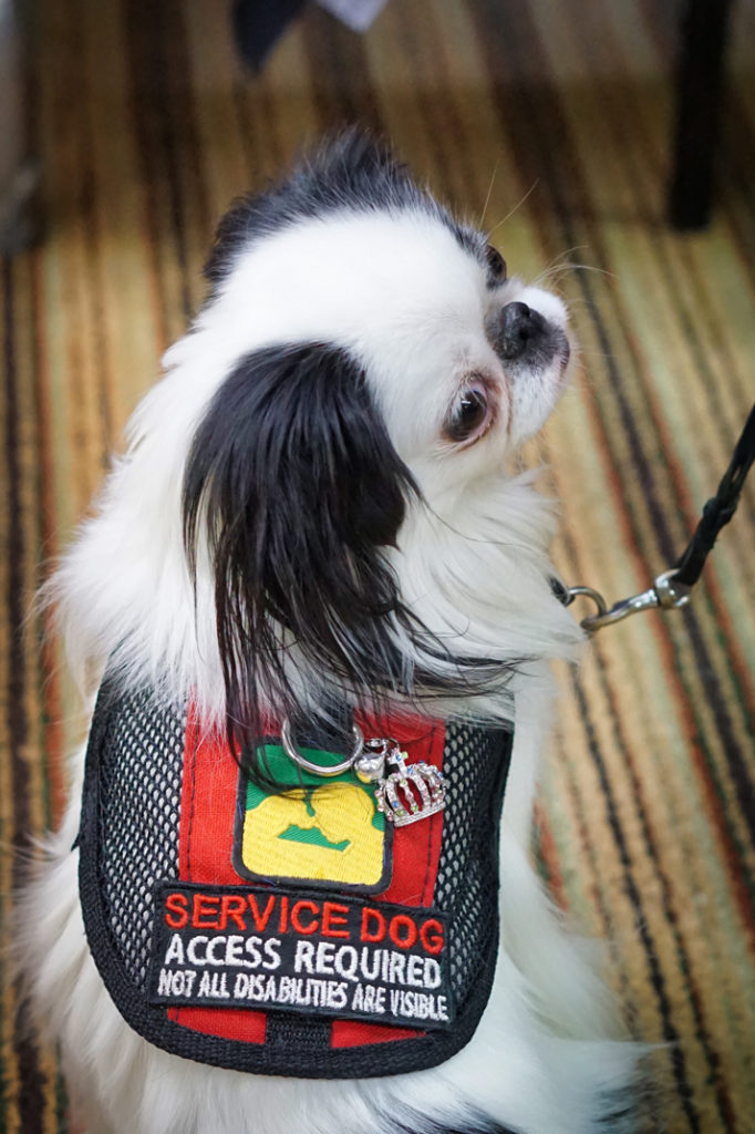 "A view of Hestia from the back.  She is wearing a vest that has red nylon down the middle and black mesh on the sides.  The patch on the bottom of her vest reads ""service dog, access required, not all disabilities are visible"".  Then she has a green and yellow patch for PSDP above that.  Attached to the D ring above that is the collar charm she won yesterday.  It is a silver crown with pastel colored rhinestones and a small silver bell. I can't hear the bell, but Brad tells me it jingles!"