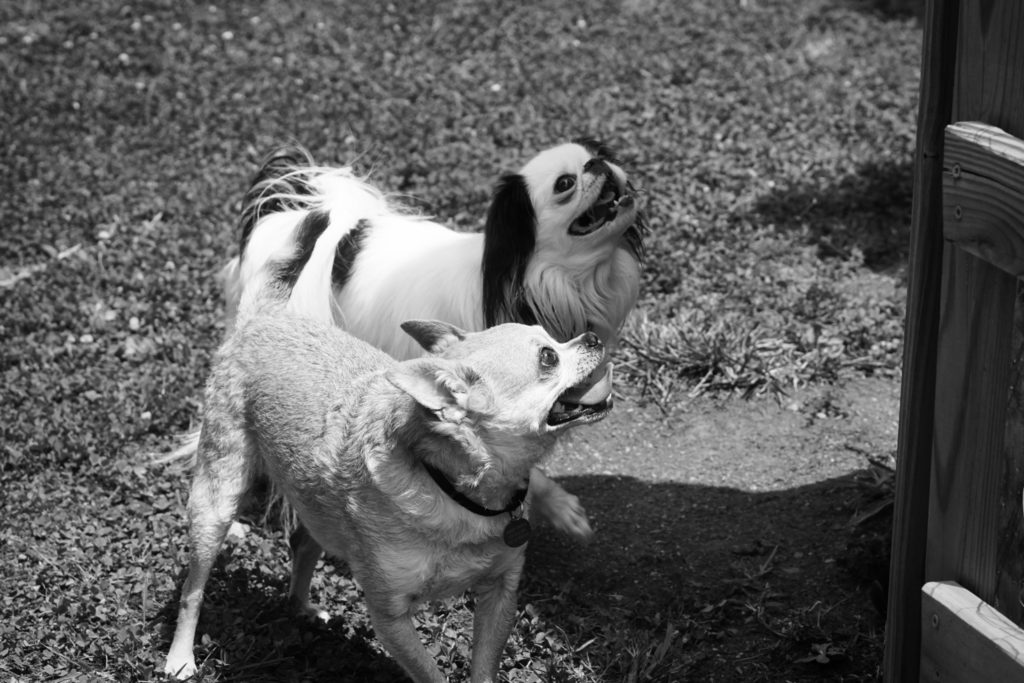 Chili and Hestia are in the yard and look up and to the right in this black and white photo.
