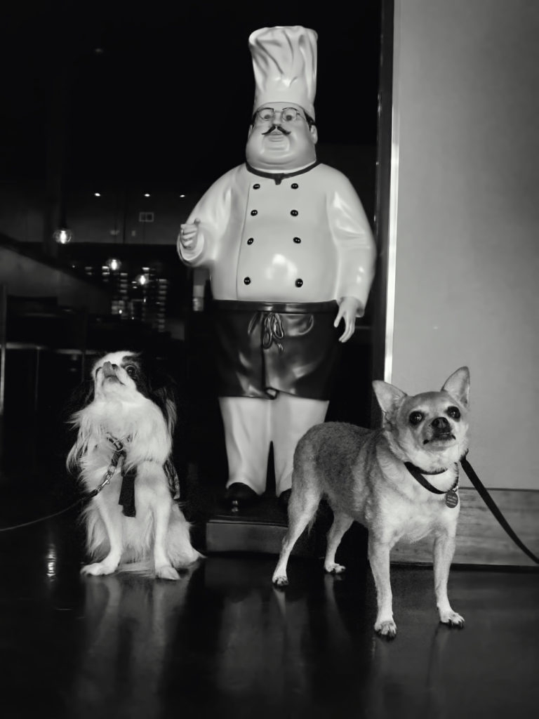 Black and white photo of Hestia and Chili at the Indian restaurant, standing in front of a small chef statue.  Hestia is sitting and licking her nose, while Chili is standing and giving a super cute look to the camera.