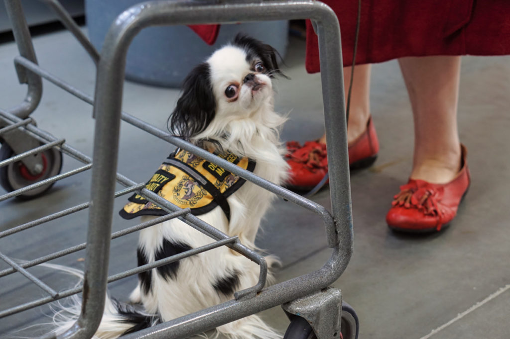 Hestia in her Hufflepuff vest sitting behind a grocery cart.