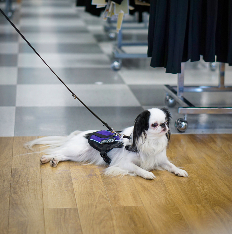 A Japanese Chin service dog wearing a purple vest lies on the floor of TJ Maxx.