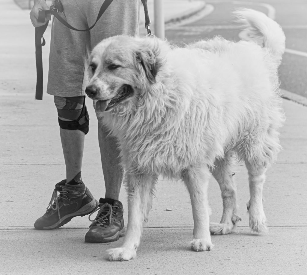 A black and white photo of Avalanche, a giant white Great Pyrenees, approaching.