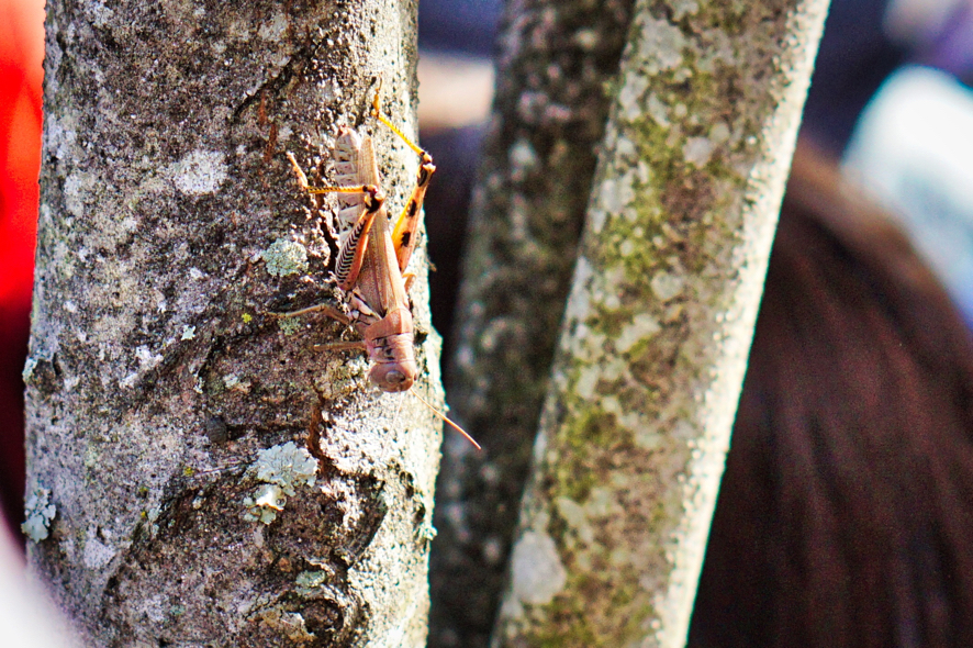 A beautiful brown and orange grasshopper on the tree.