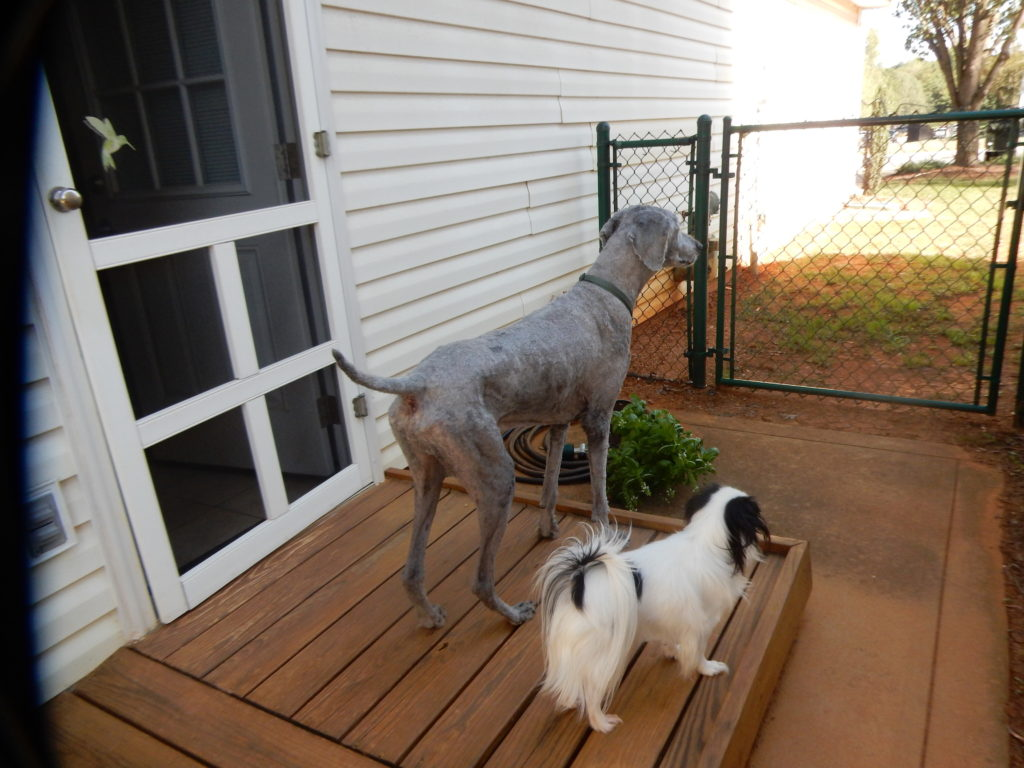 Another angle of Ollie and Hestia looking out the gate while standing on the wooden platform.