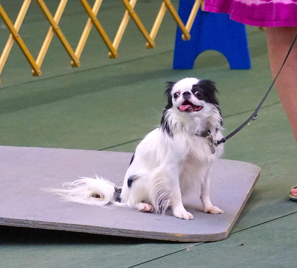 Hestia sits on a wobble board during a dog training class