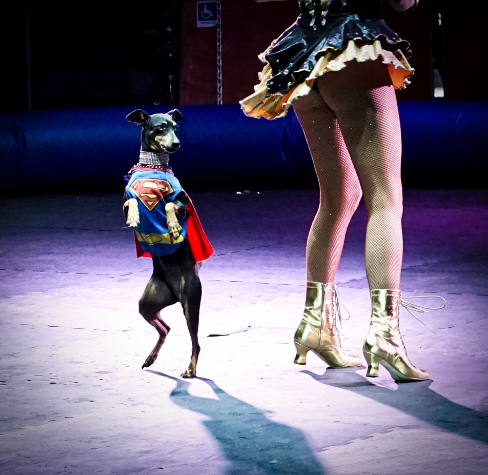 A Miniature Pinscher in a superman outfit walks on his hind legs in circles around the woman.