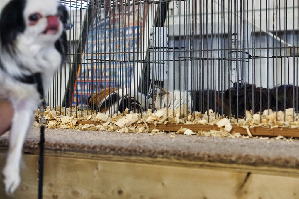 Hestia licks her nose in the foreground, while a bunch of guinea pigs sleep in the background.