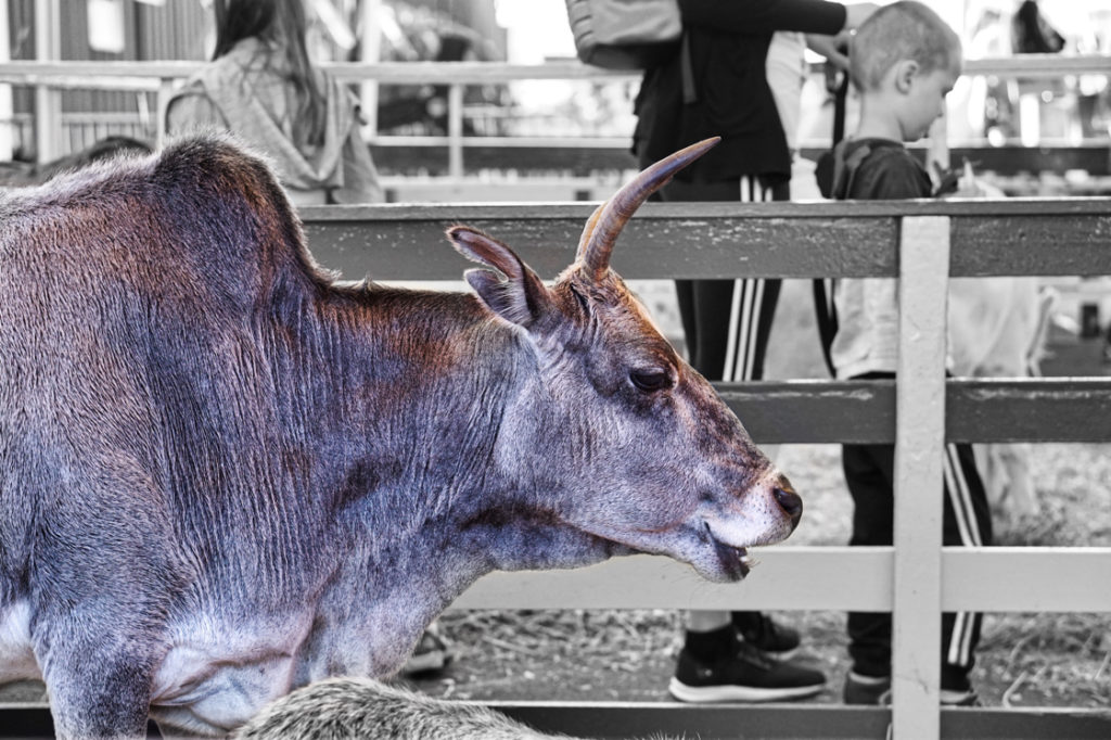 A Zebu is a small cow with a hump and horns.