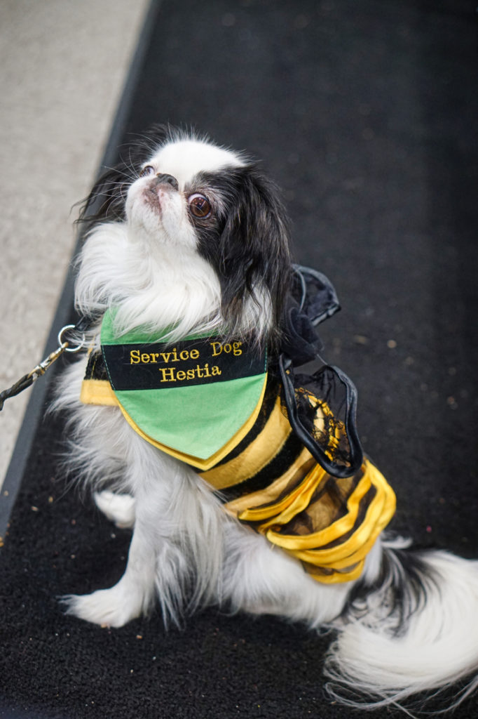 "This shot shows just Hestia in her bee costume.  You can clearly read her bandana which says ""Service Dog Hestia""."