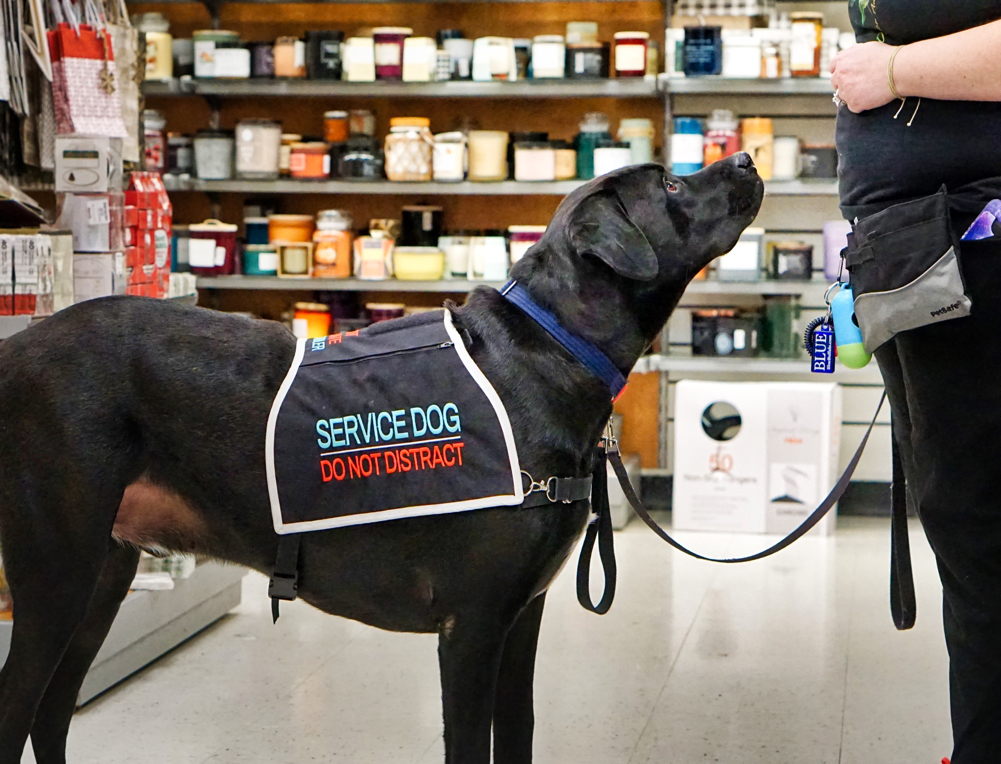 """Jax shows off his vest.  It says """"service dog, do not distract""""."""