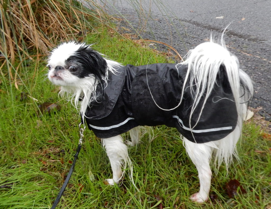 This is Hestia from the side, showing her raincoat.  All of her exposed hair fluffs are sodden and falling over.