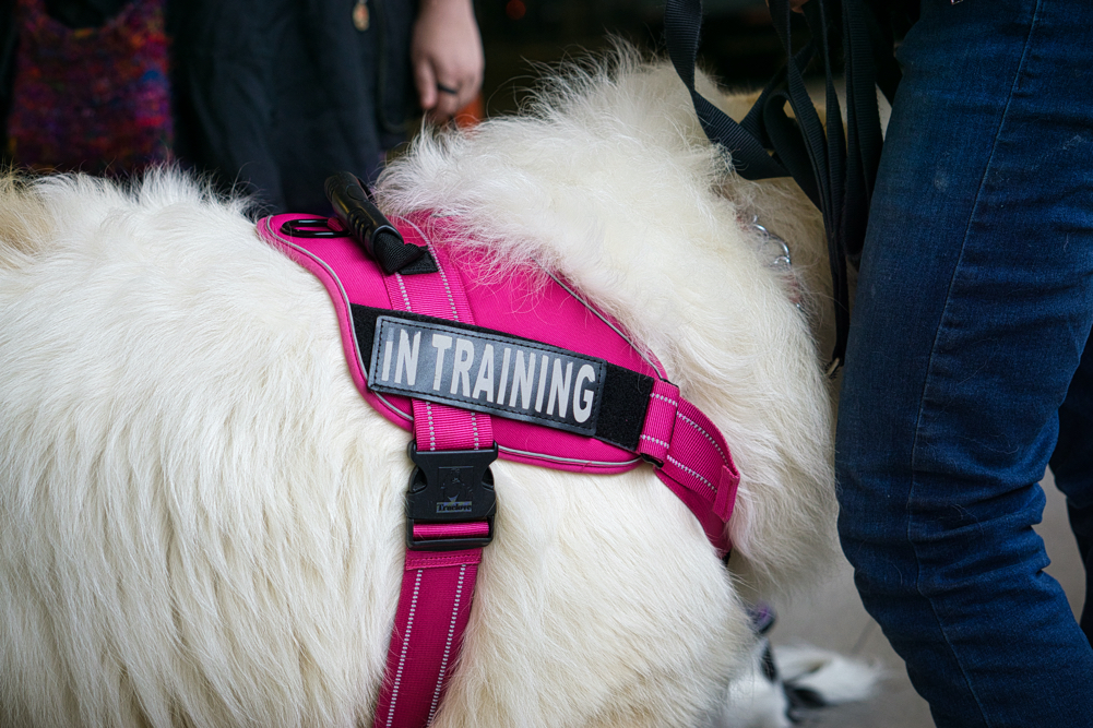 "Avalanche's bright pink vest has an ""in training"" patch on it."
