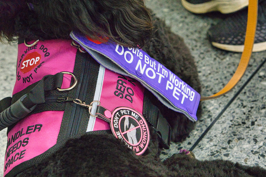 "A close-up of Phoebe's gear.  She also has a purple leash wrap that says ""I'm cute but I'm working do not pet""."