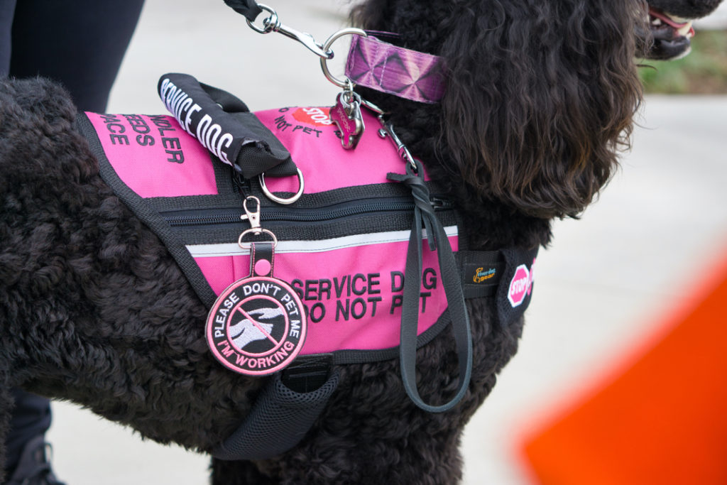 """A closeup of Phoebe's vest and gear.  She is wearing a pink patterned collar, and a pink vest that says """"service dog do not pet"""" on the side.  She has a """"please don't pet me I'm working"""" patch in black, white, and pink hanging on the side.  A black traffic lead hangs off of her collar, too."""