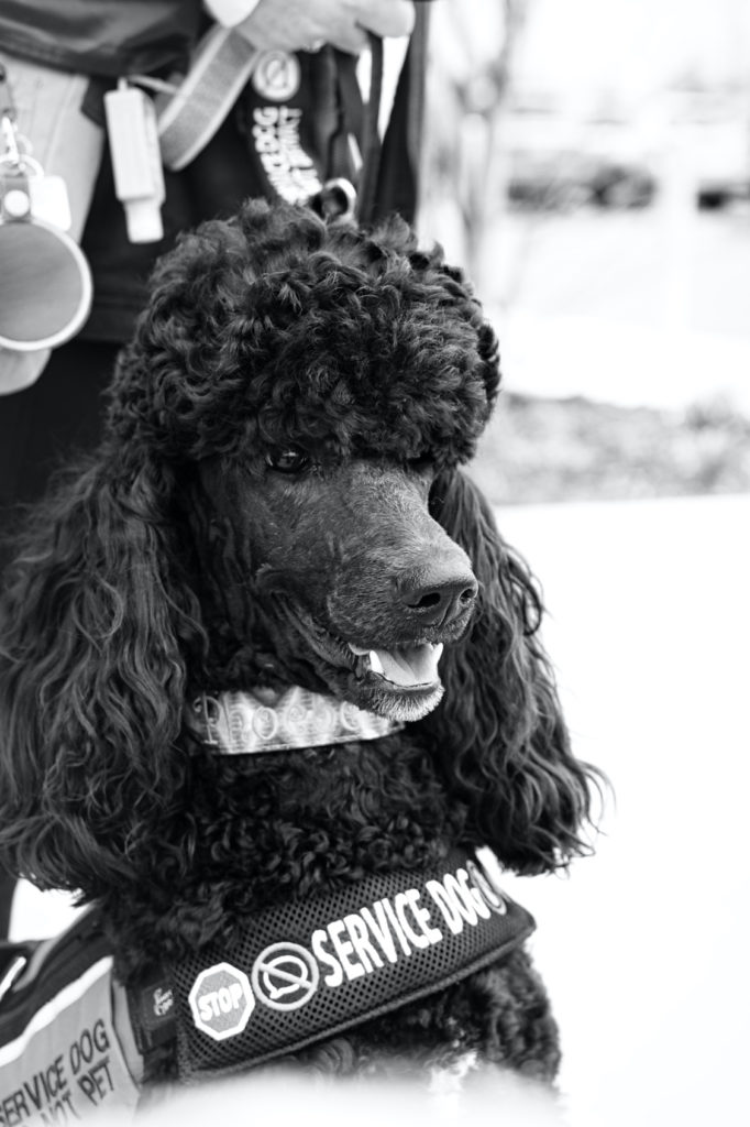 """A black and white photo of Phoebe looking just off to the right.  You can see her chest strap wrap that says """"service dog"""" and has symbols for stop, don't talk, don't touch, and something else that isn't visible."""