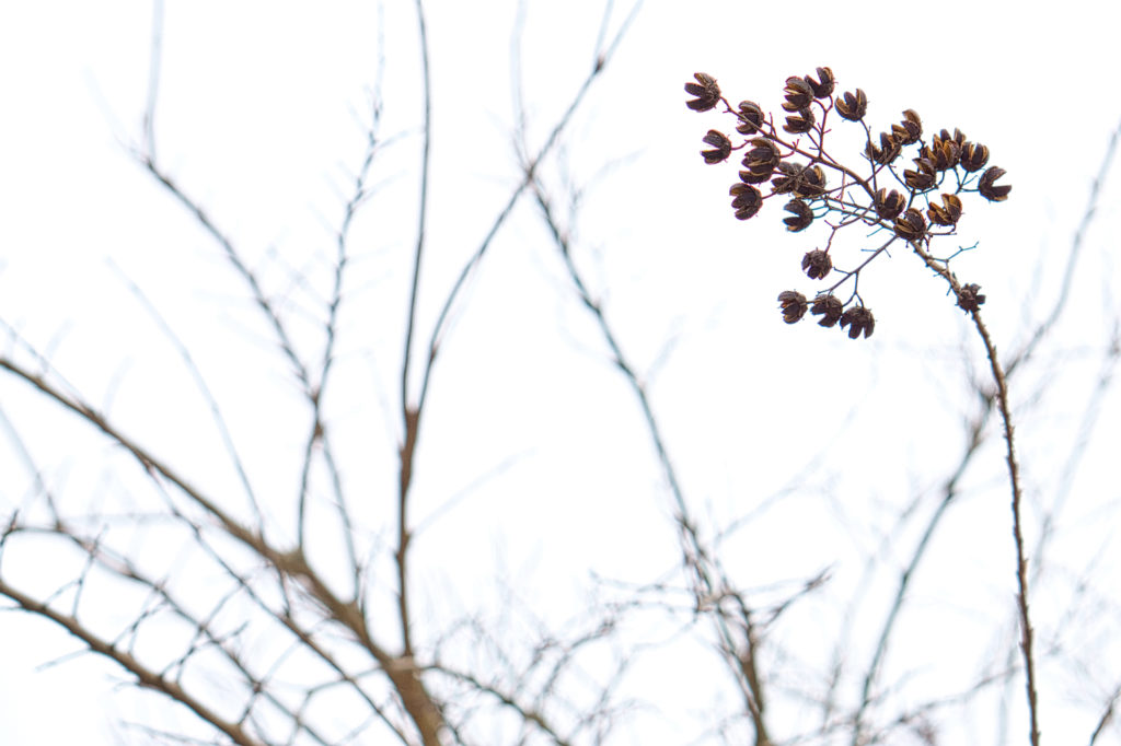 A blooming tree with sparse clusters of small brown flowers and otherwise bare branches, outside of Lidl.