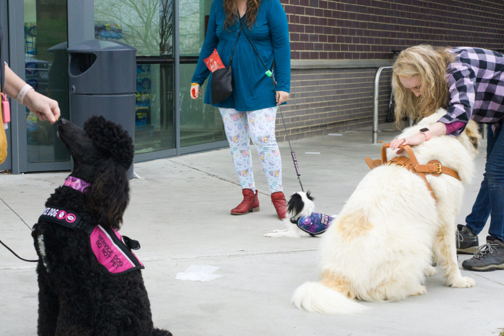 Phoebe gets a treat, Hestia lies down, and Phyllis works to desensitize Avalanche to the harness moving.