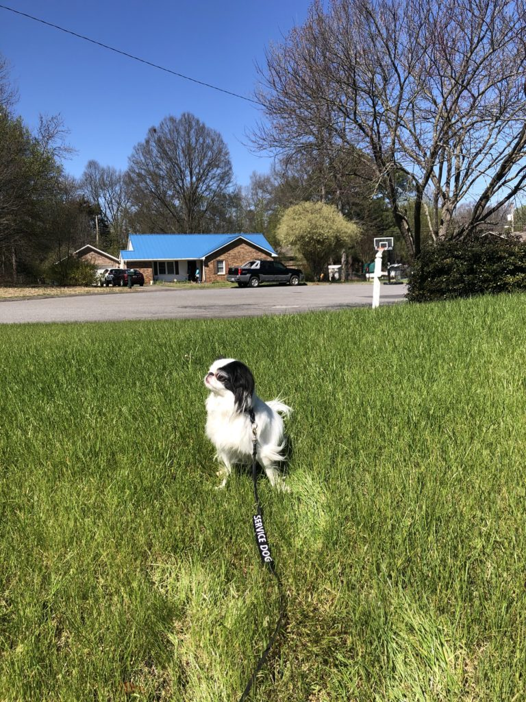 Hestia sits in the middle of a green lawn, with a house with a blue metal roof behind her and bright blue sky in the background.  The trees in the picture are budding.