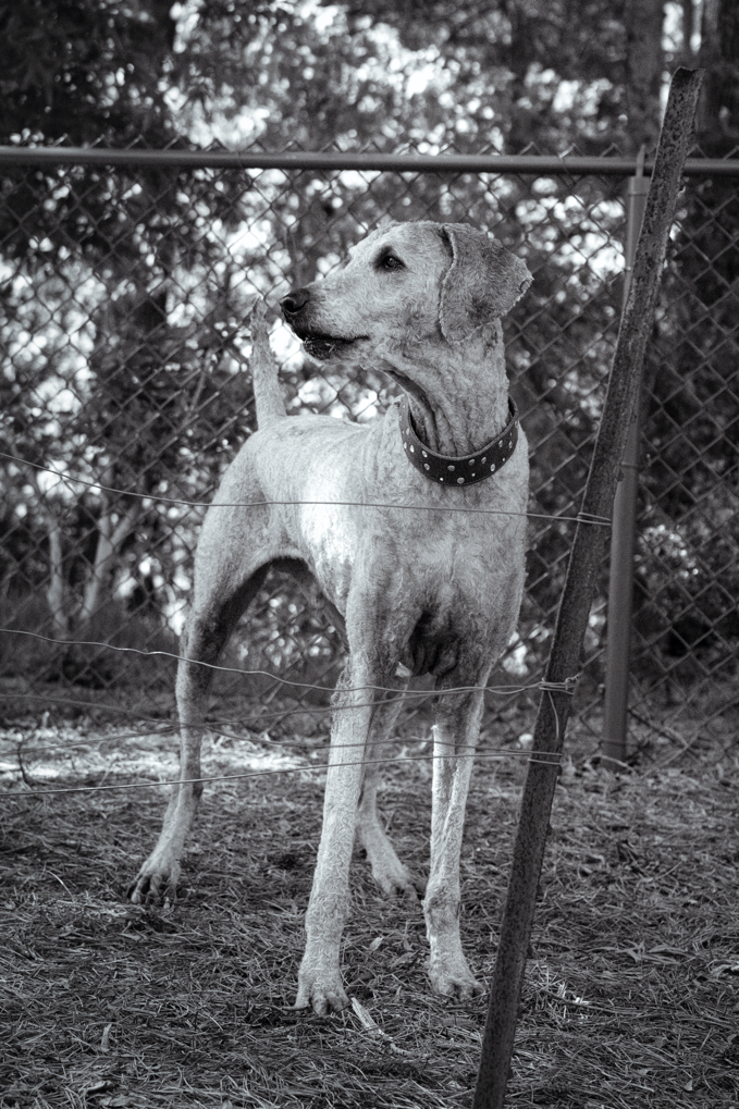 Black and white photo of Ollie doing a woof.