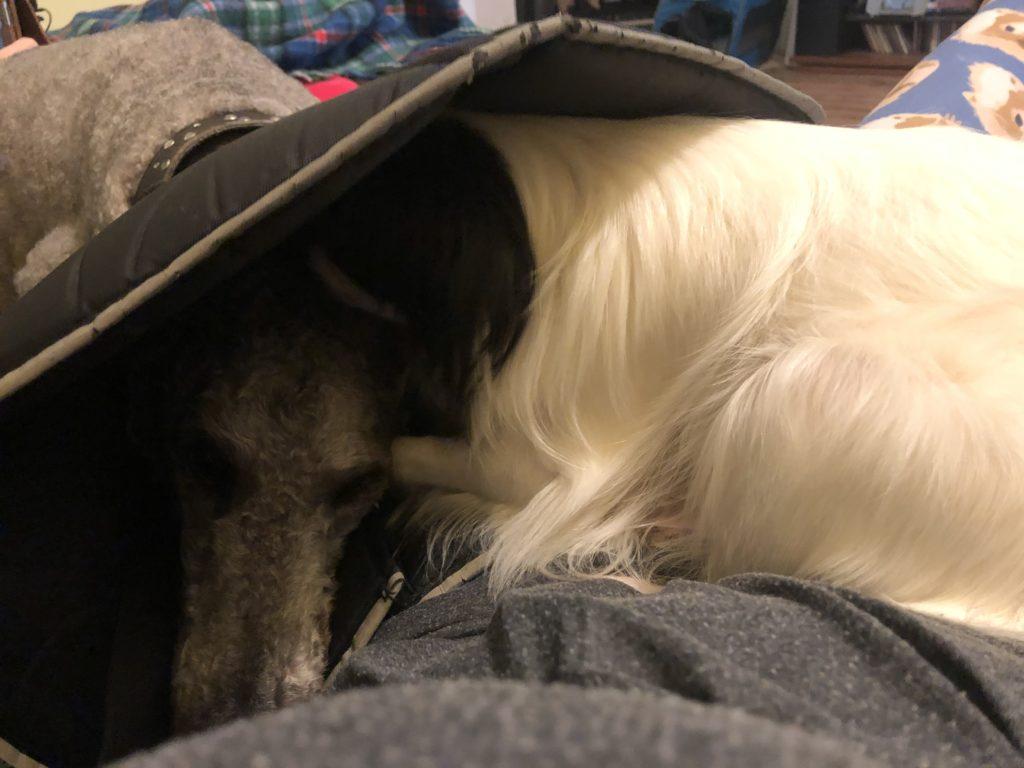 Hestia deep inside Ollie's cone licking his ear wax.