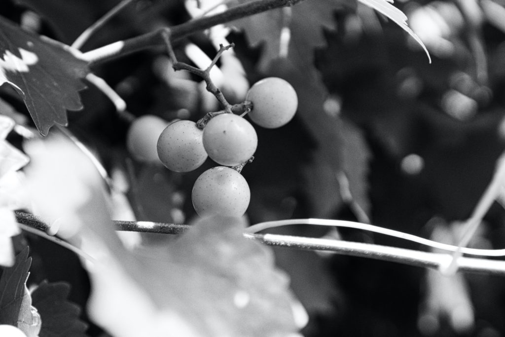 Black and white picture of another cluster of grapes.